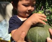 とうがん、かぼちゃ収穫できました!大きいよー